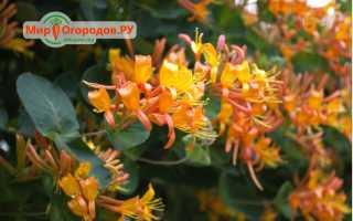 Вьющаяся жимолость Тельмана: описание сорта, посадка и уход, выращивание в открытом грунте, зимостойкость, фото