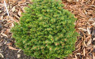 Ель обыкновенная Литл Джем (Picea abies Little Gem): описание и фото, посадка и уход