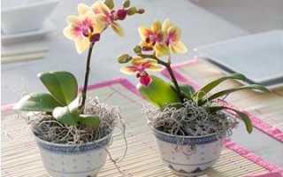 Орхидея фаленопсис мини: уход в домашних условиях, фото