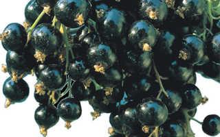 Смородина Бессемянная: чёрная и красная, описание сорта и характеристики, фото