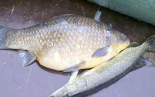Самый большой карась в мире: его фото и вес, сколько весит самый крупный карась в России, какой максимальный вес рыбы, пойманной на удочку