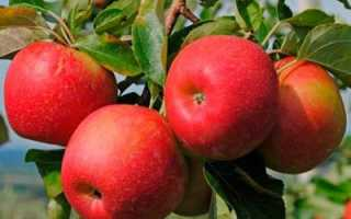 Яблоня Джонаголд: описание и характеристика плодов и дерева, посадка и уход, фото, отзывы
