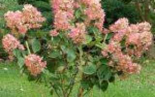 Гортензия метельчатая Пинк Даймонд (Hydrangea Pink Diamond): описание и фото, посадка и уход, размножение