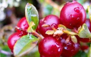 Что такое брусника: описание, характеристики и внешний вид растения, ягоды, цветение, где растёт, фото