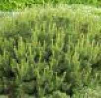 Сосна горная унцината: описание дерева, посадка, уход и размножение, применение в ландшафтном дизайне