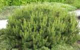 Сосна горная Хампи (Pinus mugo Humpy): описание и фото, посадка и уход, использование в ландшафтном дизайне