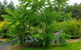 Орех маньчжурский: размножение, черенкование, как сажать, даёт ли поросль