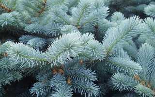 Сорта голубой карликовой ели, фото с названиями, колючие низкорослые ели для сада