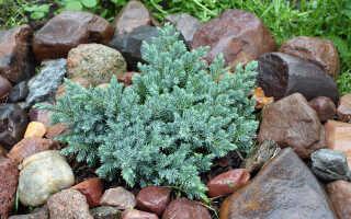 Можжевельник чешуйчатый Блю Стар (Juniperus squamata Blue Star): описание и фото, использование в ландшафтном дизайне, посадка и уход