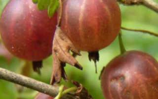 Крыжовник сорта Лада: описание, преимущества и недостатки, уход, урожайность, фото