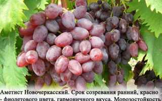 Виноград Аметистовый: описание сорта, выращивание и уход, фото