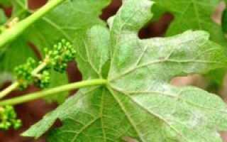 Белый налёт на винограде: почему появился, что делать и чем обработать, можно ли есть такой виноград