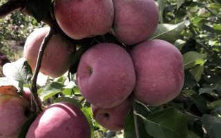 Яблоня сорта Флорина: описание и характеристика, агротехника посадки и ухода за деревом, фото, отзывы