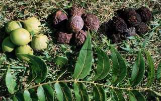 Скорлупа чёрного ореха: свойства и применение, противопоказания, польза и вред