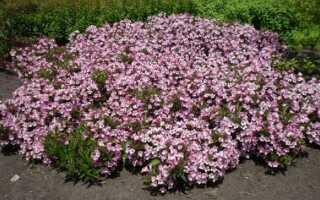 Вейгела цветущая Пинк Принцесс (Weigela florida Pink Princess): описание и фото сорта, цветение, посадка растения и уход за ним в открытом грунте