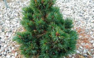 Сосна кедровая европейская (Pinus cembra): описание и фото, посадка и уход, популярные сорта в ландшафтном дизайне