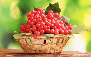 Калина красная: полезные свойства и противопоказания для женщин, отзывы