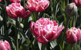 Тюльпан Коламбус (Columbus): описание и фото растения, особенности выращивания, использование в ландшафтном дизайне