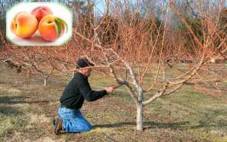 Уход за персиком осенью: особенности, подготовка к зиме, частые ошибки