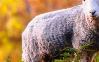 Размножение овец в домашних условиях для начинающих: репродуктивный возраст овец, методы осеменения, окот, периодичность ягнения