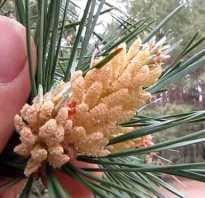 Как и когда цветёт сосна обыкновенная, цветение сосны в Якутии раз в 100 лет, фото