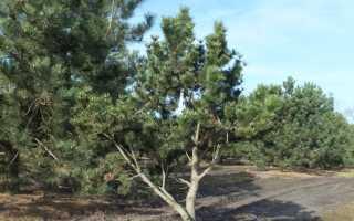 Сосна горная Мугус (Pinus Mugo Mughus): использование в ландшафтном дизайне, описание и фото сорта, посадка и уход