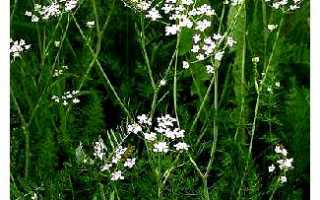 Тмин: описание, выращивание из семян и уход в открытом грунте, урожайность, фото