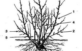 Строение куста и листьев чёрной смородины, схема
