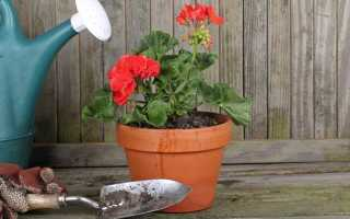 Как правильно поливать герань в домашних условиях для обильного цветения: чем и как часто, сколько раз в неделю