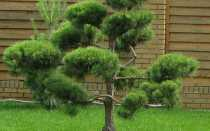 Обрезка и формирование лиственницы обыкновенной и европейской: в саду, чтобы не росла вверх, как и когда обрезать подросшую, ниваки
