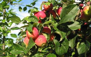 Технология выращивания яблони: как правильно ухаживать за культурой