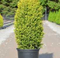 Можжевельник обыкновенный Голд Кон (Gold Cone): описание и фото, использование в ландшафтном дизайне, посадка и уход