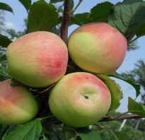 Яблоня сорта Строевское: подробная характеристика, особенности выращивания яблони на участке, фото