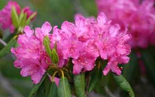 Как и когда можно правильно пересадить рододендрон на новое место; сроки пересадки весной, летом и осенью