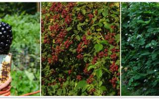 Ежевика сорта Дойл: описание с фото, характеристика, выращивание в Подмосковье, урожайность, отзывы