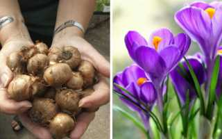 Пересадка крокусов: нужно ли и когда выкапывать крокусы после цветения, когда сажать