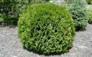 Туя западная Глобоза Ауреа (thuja occidentalis Globosa Aurea), описание и фото