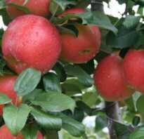 Яблоня Хани Крисп: описание и характеристика сорта, выращивание и уход, фото