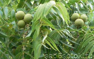Как цветёт грецкий орех: посадка, выращивание, уход