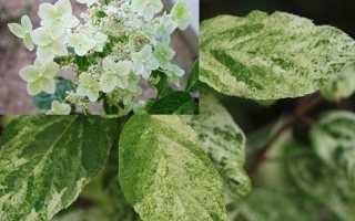 Гортензия метельчатая Шикоку Флеш (Shikoku Flash): описание, характеристики, агротехника растения, фото