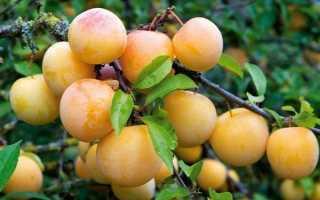 Слива Светлячок: описание и характеристика сорта, особенности выращивания и ухода, фото