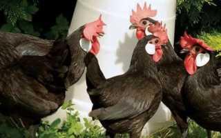 Минорка: описание породы кур, характеристика, содержание