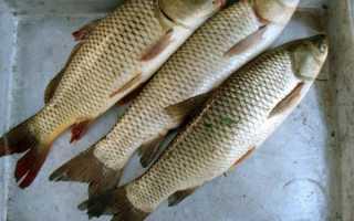 Белый амур костлявый или нет: много ли костей и какой вкус у рыбы, применение в кулинарии