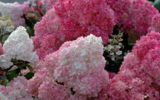 Гортензия метельчатая Пинки Винки (Hydrangea Paniculata Pinky Winky): описание и фото, посадка и уход, применение в ландшафтном дизайне