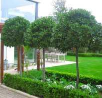 Туя на штамбе: в ландшафтном дизайне, как сделать штамбовое дерево своими руками, пошагово, фото