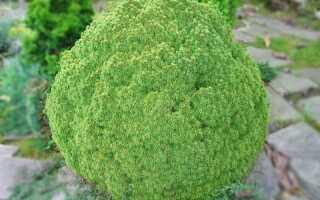 Ель канадская или сизая сорта Эхиниформис (Picea glauca Echiniformis): описание, посадка и уход, фото