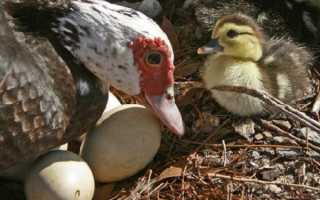 Когда начинают нести яйца индоутки, в каком возрасте, в каком месяце