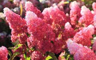 Гортензия Фрайз Мельба (hydrangea paniculata Fraise Melba): фото, описание, посадка и уход за цветком, сорт в ландшафтном дизайне