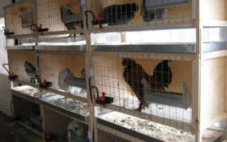 Клеточное содержание кур в домашних условиях: подходящие породы кур, размеры клеток, оборудование, видео