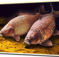 Как разводить сазана: когда нерестится и сколько раз в год мечет икру, разведение и выращивание в домашних условиях, размеры рыбы